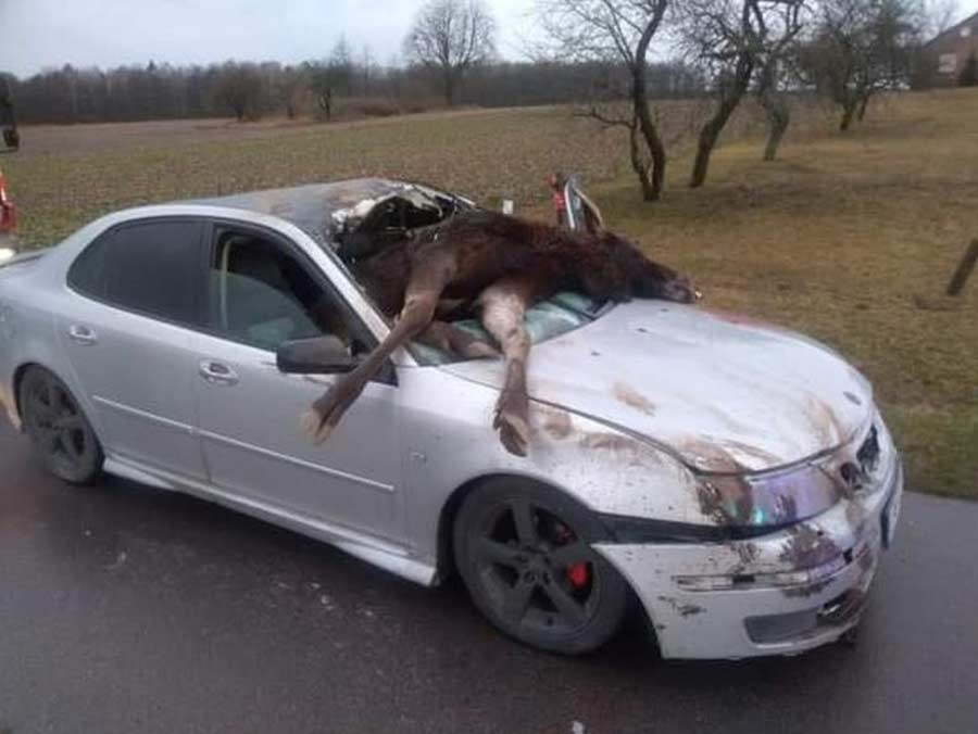 Saab collided with an Moose. The animal fell inside car, it had to be lifted by crane 2