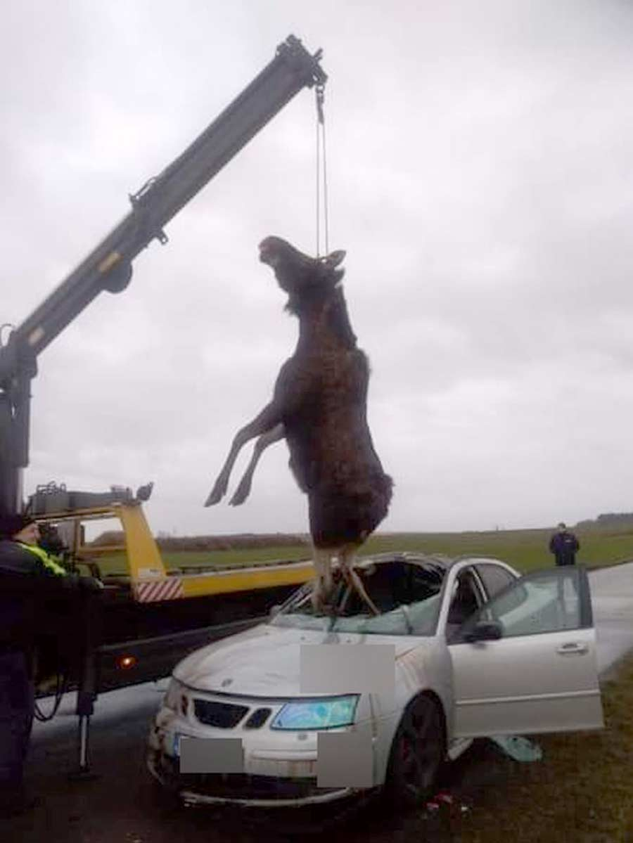 Saab collided with an Moose. The animal fell inside car, it had to be lifted by crane 1