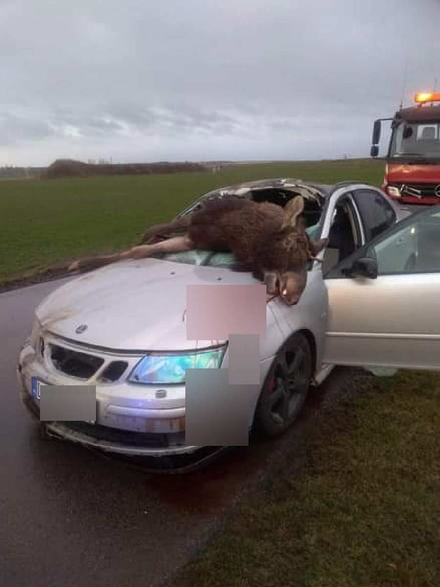 The impact was so strong that the moose ended up in the cab of the car